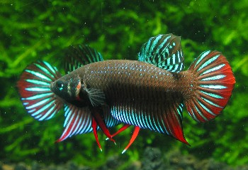 Betta splendens silvestre