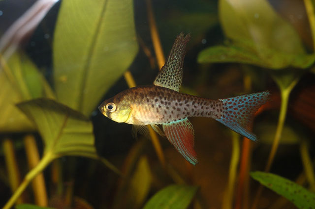 Астрофундулус долихоптерус, или Терранатос серпоплавничный (Terranatos dolichopterus), фото фотография аквариумные рыбки