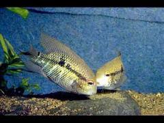 Aequidens michaeli foto copy www.aquatarium.de