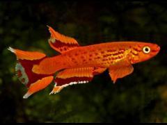 Aphyosemion australe naranja - Foto copy hwww.aquariumhome.ru