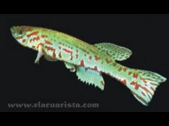 Fundulopanchax ndianus macho