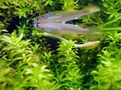 Aplocheilus lineatus gold hembra - Foto pitón