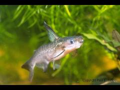 Auchenipterichthys thoracatus foto gentileza de Paul Turley