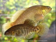 Austrolebias nonoiuliensis (casal)