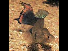 Austrofundulus transilis