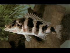 Cheilochromis euchilus foto © W. Burgess