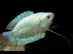 Trichogaster lalius, variedad azul