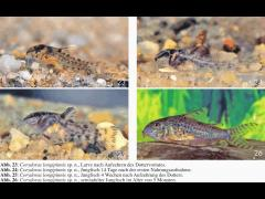 Corydoras longipinnis Foto Copy Joachim Knaack