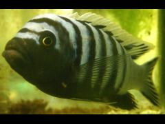 Cynotilapia afra Copy Alexandra Tyers - flickr.com/people/52993488@N03