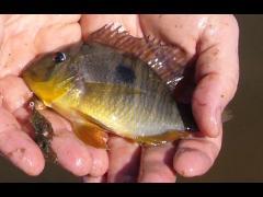 Gymnogeophagus balzani hembra - Laguna Santa Ana - Corrientes