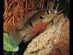 Hemichromis bimaculatus macho al cuidado de los huevos