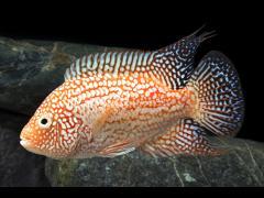 Herychthys cianoguttatus variedad roja
