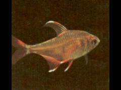 Hyphessobrycon bentosi macho