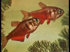 Hyphessobrycon flammeus (macho a la izquierda)