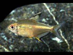 Hyphessobrycon pulchripinnis Tetra Limón