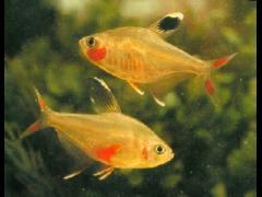 Hyphessobrycon socolofi juveniles
