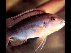 Iodotropheus sprengerae macho