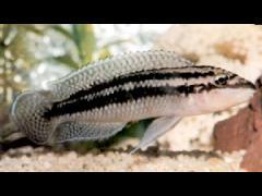Julidochromis dickfeldi - © TFH Inc. H-1090, Pág.151
