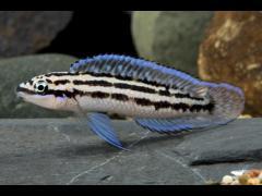 "Julidochromis dickfeldi - ""Blue Zaire"""