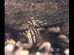 Julidochromis marlieri - Verifica que todo esté en orden en el nido