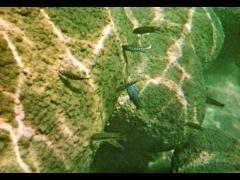 Labeotropheus fuelleborni a 5 metros de profundidad