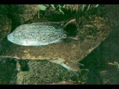 Neolamprologus brichardi atacando a Oreochromis mossambicus (Tilapia mossambica)