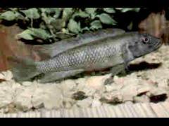 Lamprologus congoensis hembra