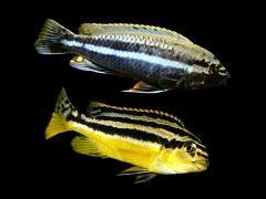 Melanochromis auratus - casal