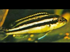 Melanochromis auratus macho