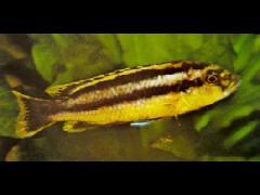 Melanochromis chipokae hembra