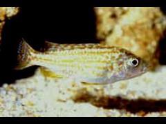 Melanochromis joanjohnsonae - © G.  Mittenecker