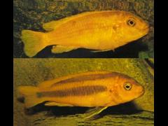 Melanochromis johanni - Hembras en dos variaciones cromáticas