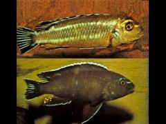 Melanochromis johanni - Machos en dos variaciones cromáticas