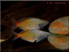 Melanotaenia boesemani machos - Foto © Hristo Hristov