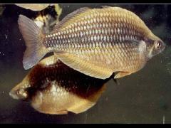 Especie híbrida Melanotaenia kalaminos