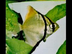 Monodactylus argenteus