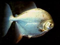 Myloplus rubripinnis hembra