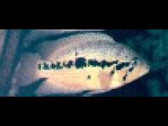 Parachromis friedrichsthalii