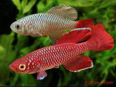 Pareja de Nothobranchius korthausae rojo - Foto Hristo Hristov