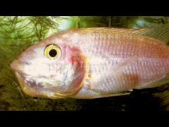 Tilapia mossambica Hembra dorada incubando