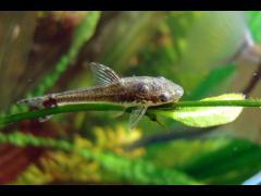 Otocinclus affinis - Foto por Pitón