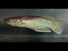 Pachypanchax arnoulti