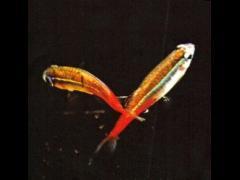 Paracheirodon innesi, los huevos fecundados caen sobre el sustrato