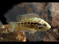 Parachromis friedrichsthalii juvenil