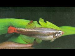 Tanichthys albonubes