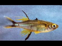 Marosatherina ladigesi macho