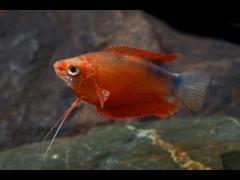 Trichogaster chuna bicolor