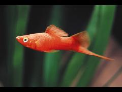 X. hellerii - variedad rojo terciopelo