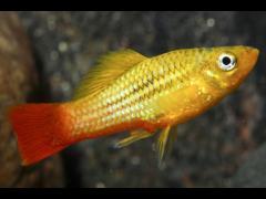 "Xiphophorus variatus ""Marigold"""