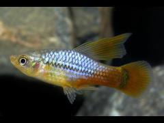 "Xiphophorus variatus ""Azul"""